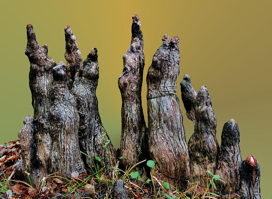 Cypress Photograph - The Cypress Knees Chorus by Kristin Elmquist