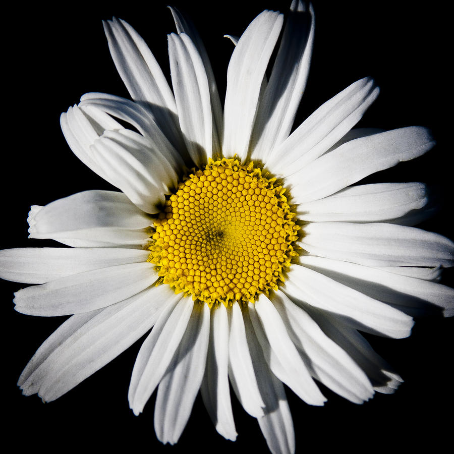 The Daisy Photograph  - The Daisy Fine Art Print