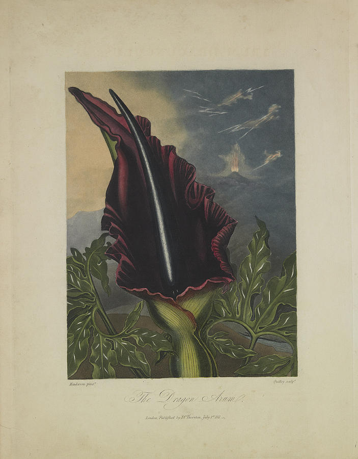 The Dragon Arum Drawing