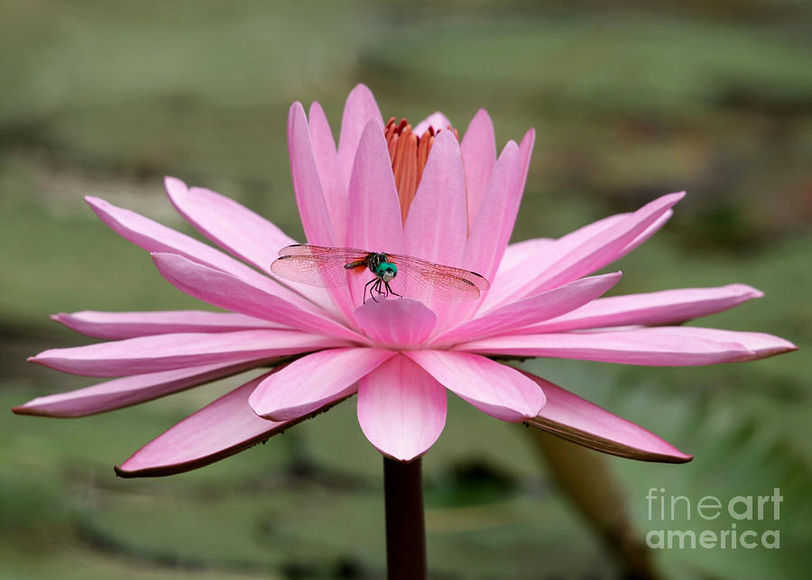 The Dragonfly And The Pink Water Lily Photograph