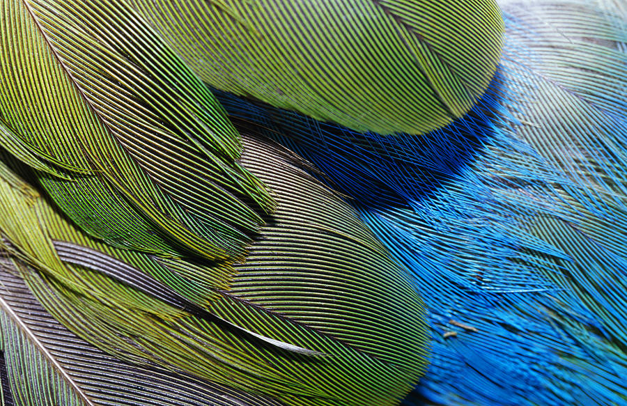 The Feathers Of A Red-winged Parrot Photograph