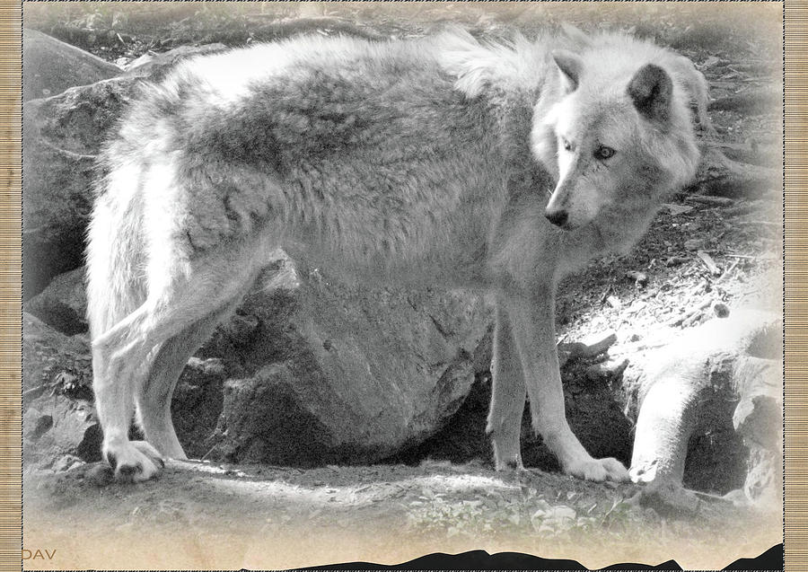 The Gray Wolf Photograph  - The Gray Wolf Fine Art Print
