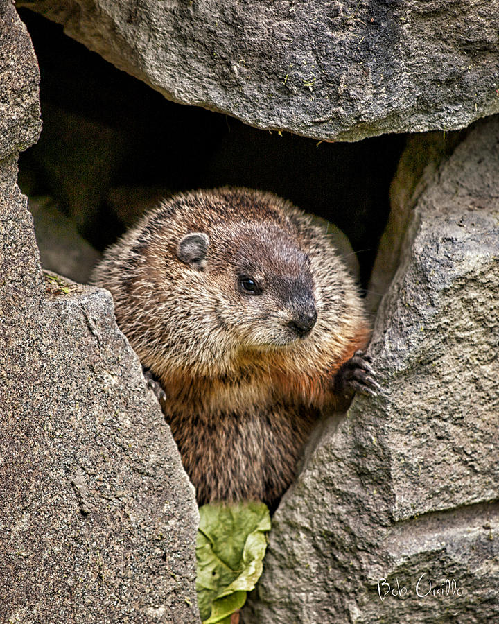 The Groundhog Photograph  - The Groundhog Fine Art Print