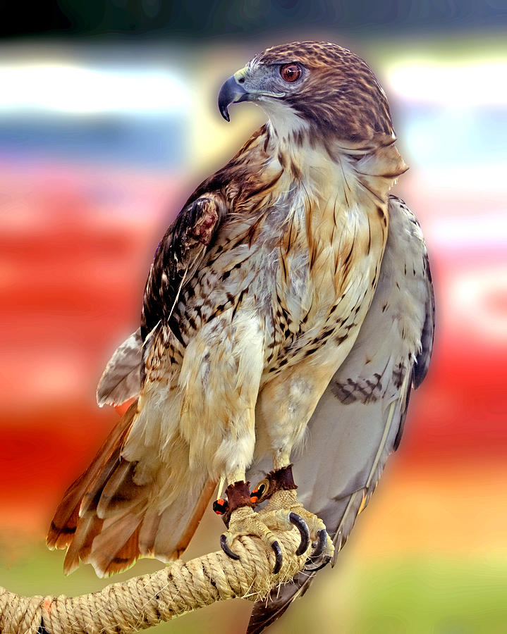 The Hawk Photograph  - The Hawk Fine Art Print