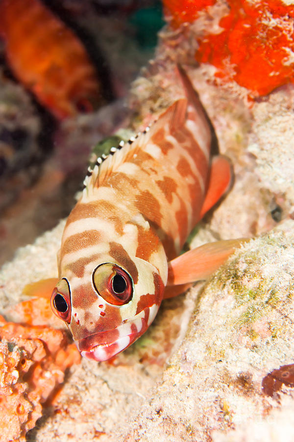 The Hawkfish Photograph