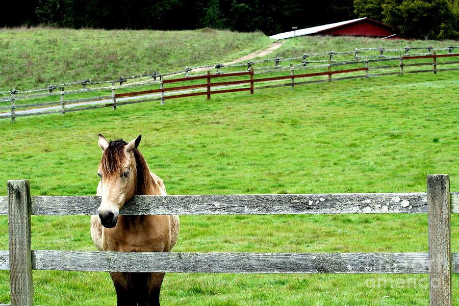 The Horse And The Red Barn . R5913 Photograph  - The Horse And The Red Barn . R5913 Fine Art Print