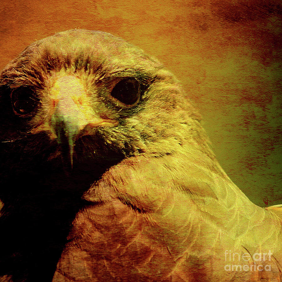 The Hunter . Portrait Of A Hawk . Square . 40d7877 Photograph
