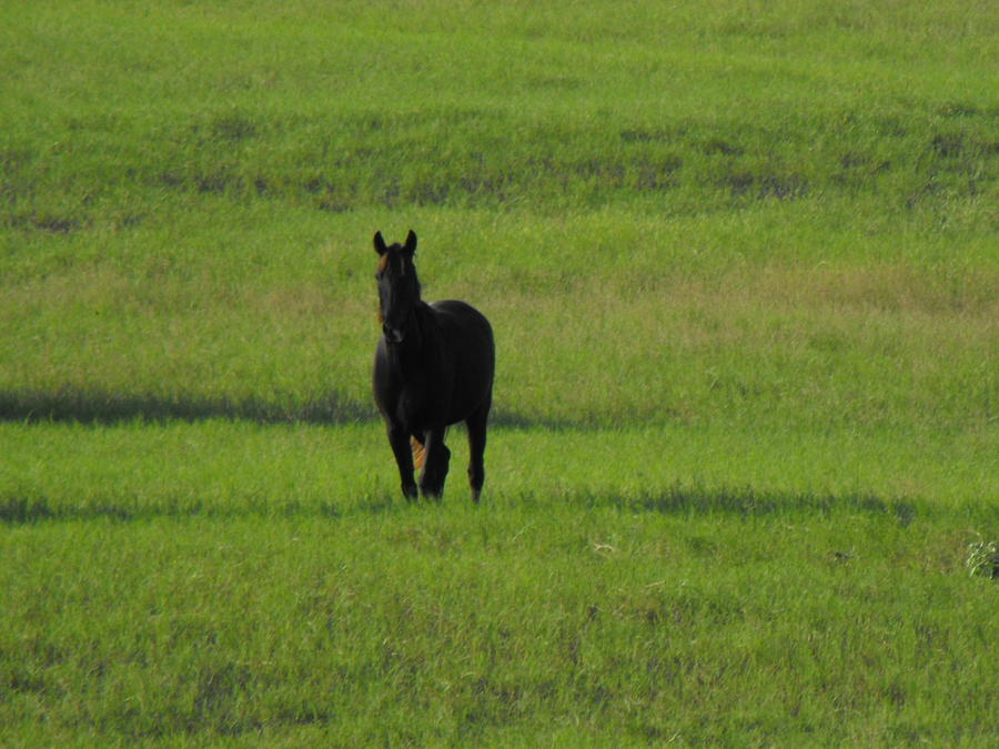 The Lone Horse Photograph