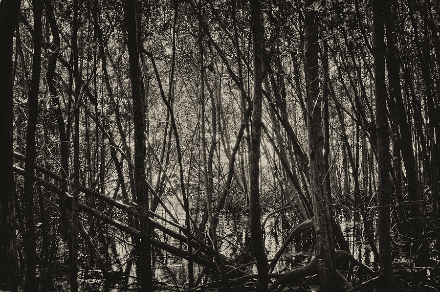 The Mangrove Photograph