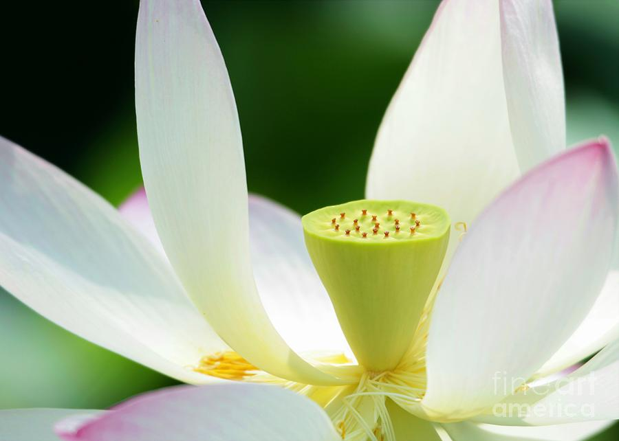 The Middle Of A Lotus Photograph  - The Middle Of A Lotus Fine Art Print