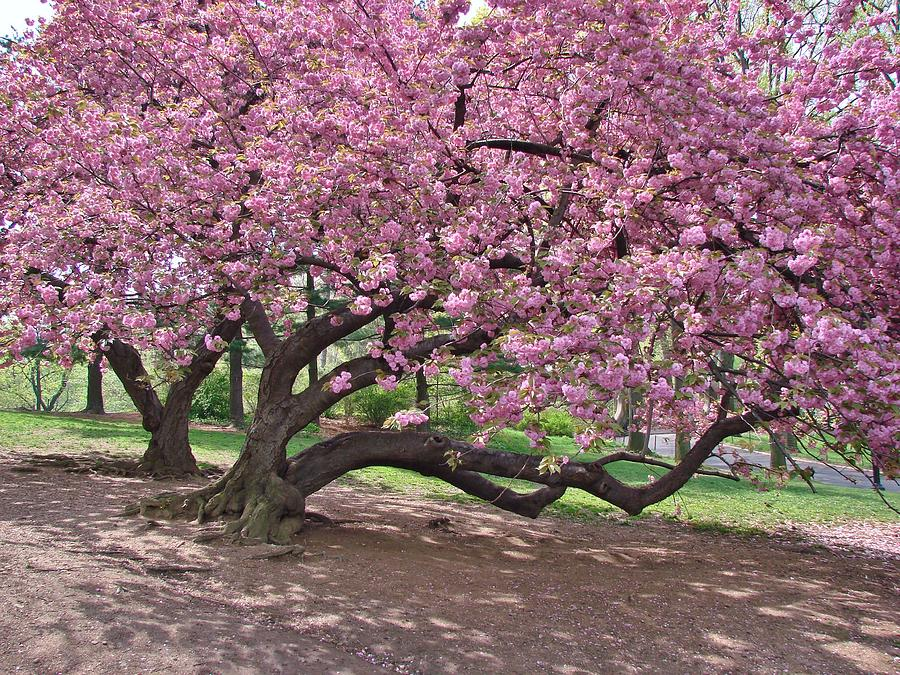 The most beautiful cherry tree photograph