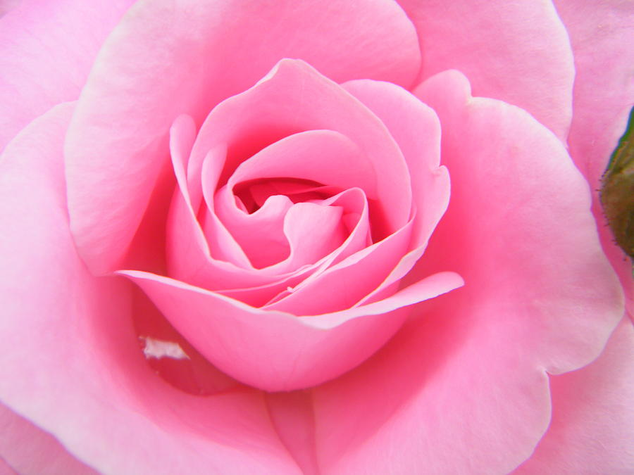The Most Photogenic Pink Rose Photograph