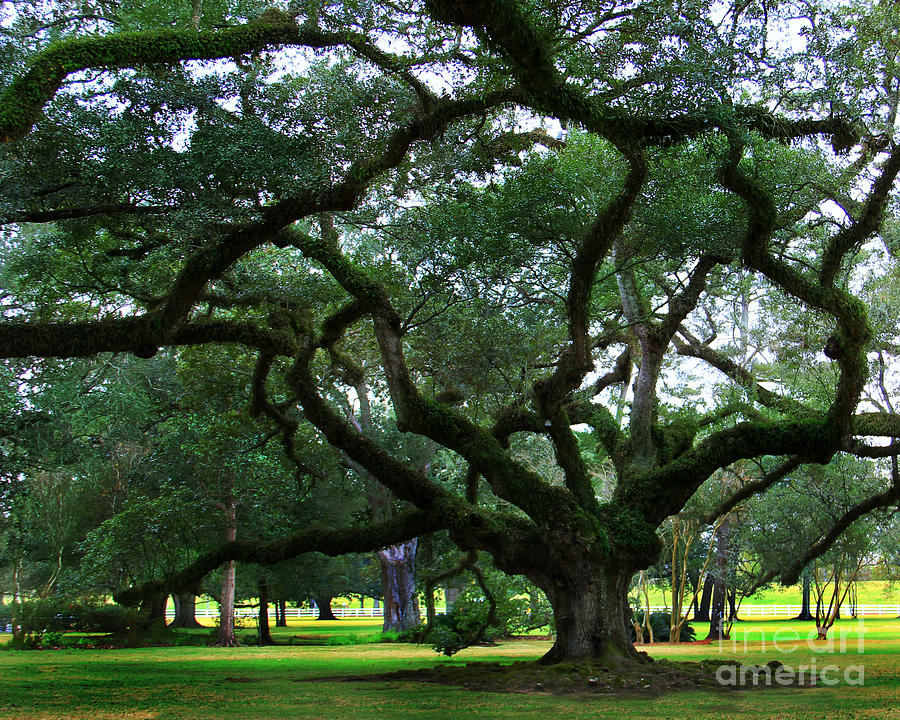 The Old Oak Photograph  - The Old Oak Fine Art Print