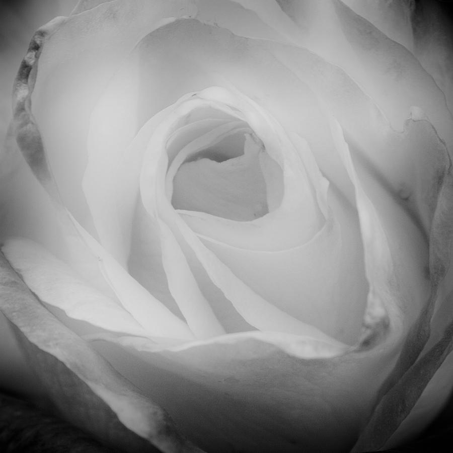 The Princess Diana Rose IIi Photograph