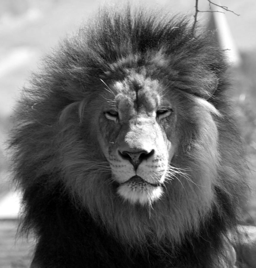 The Proud Lion Black And White Photograph By Hart Johnson