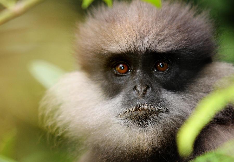 Monkey Photograph - The Purple-faced Langur. Nuwara Eliya.sri Lanka by Jenny Rainbow