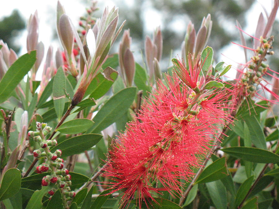 This Bright 'ohia Lehua Is In Queen Liliuokalani Park Near Downtown Hilo Photograph - The Queens ohia Lehua  by Ron Holiday Broomell