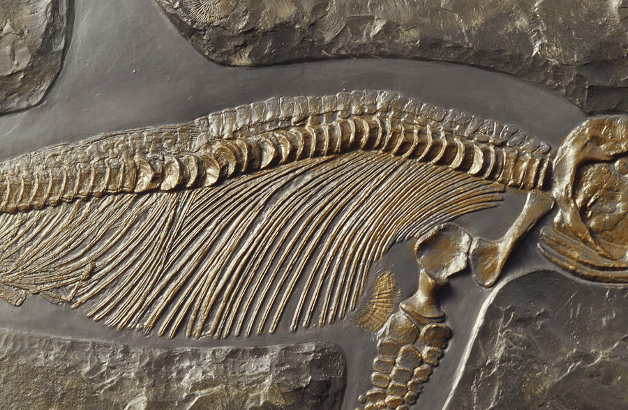 The Ribs And Spine Of Ichthyosaur Photograph