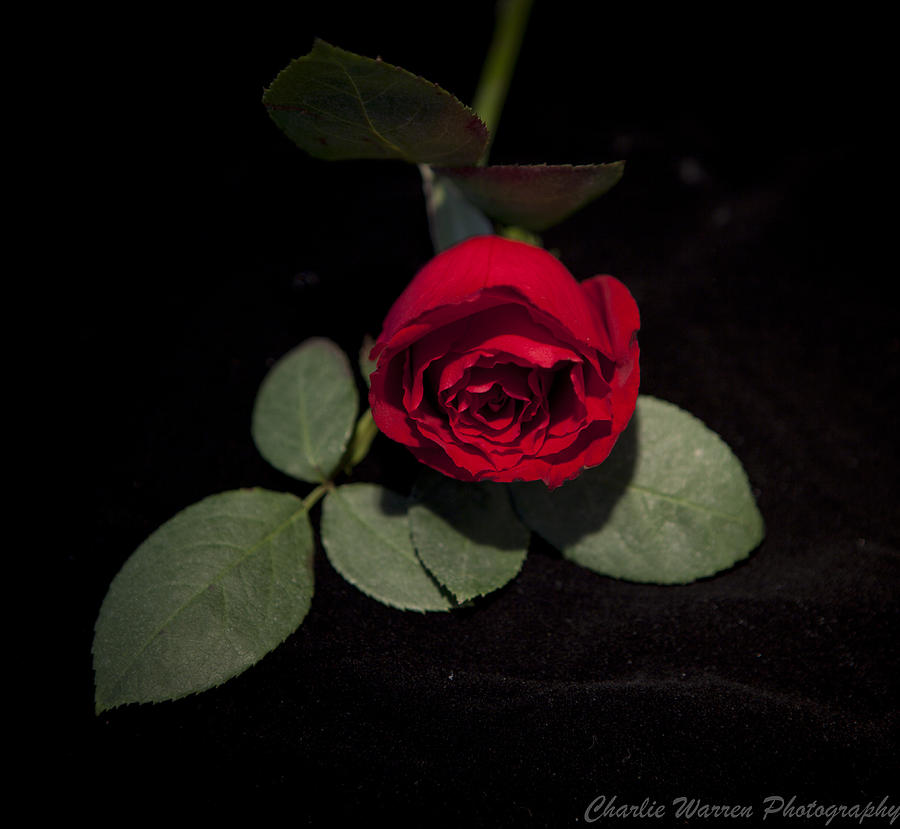 Rose Photograph - The Rose by Charles Warren