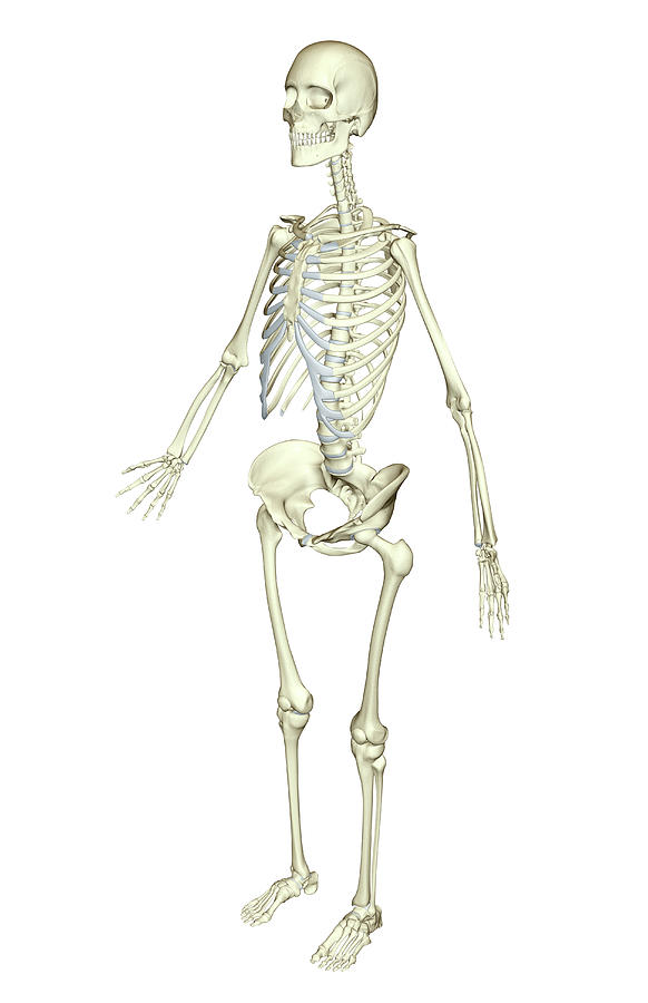 The Skeletal System Photograph  - The Skeletal System Fine Art Print