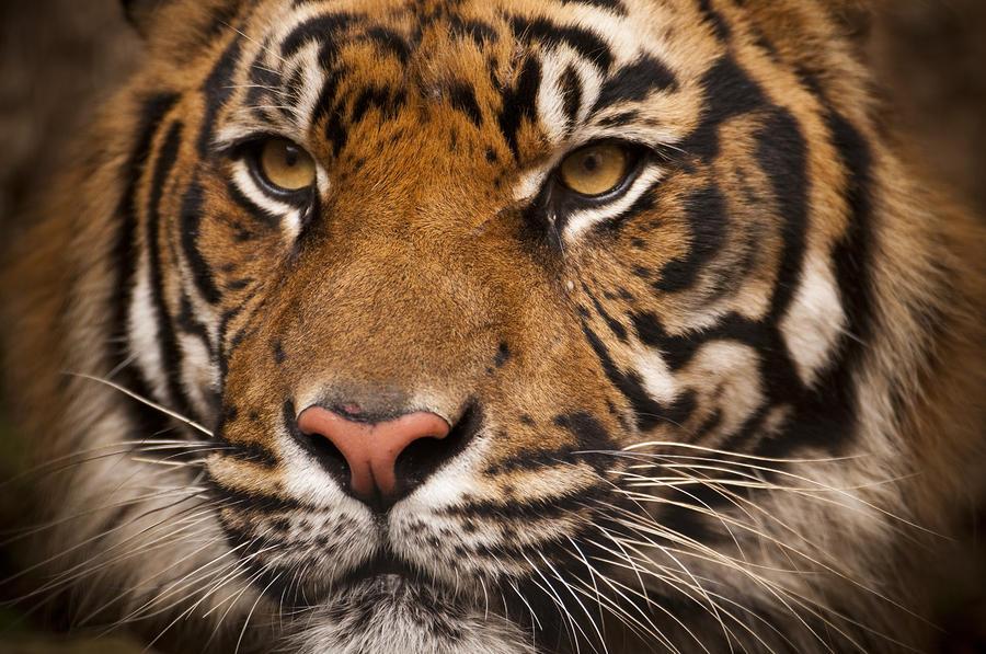 The Sumatran Tiger Cat Photograph