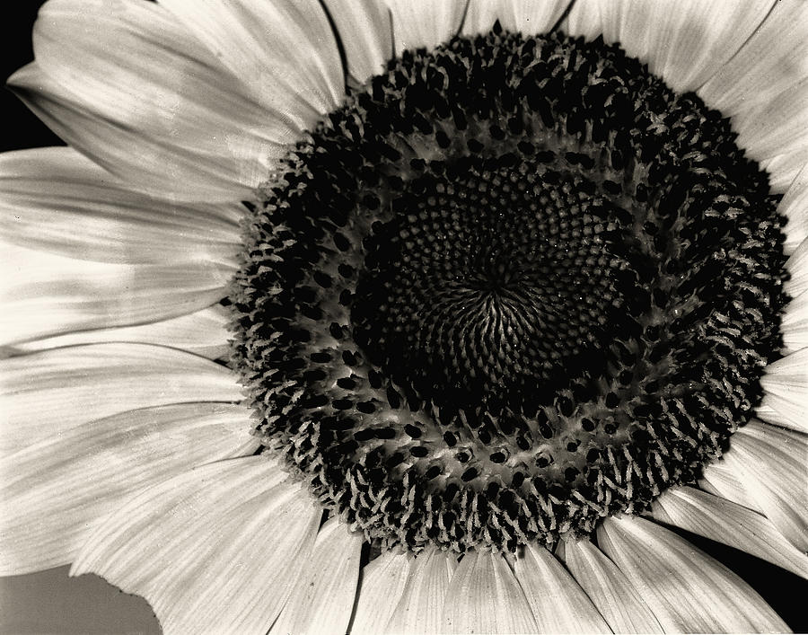 The Sunflower Photograph  - The Sunflower Fine Art Print