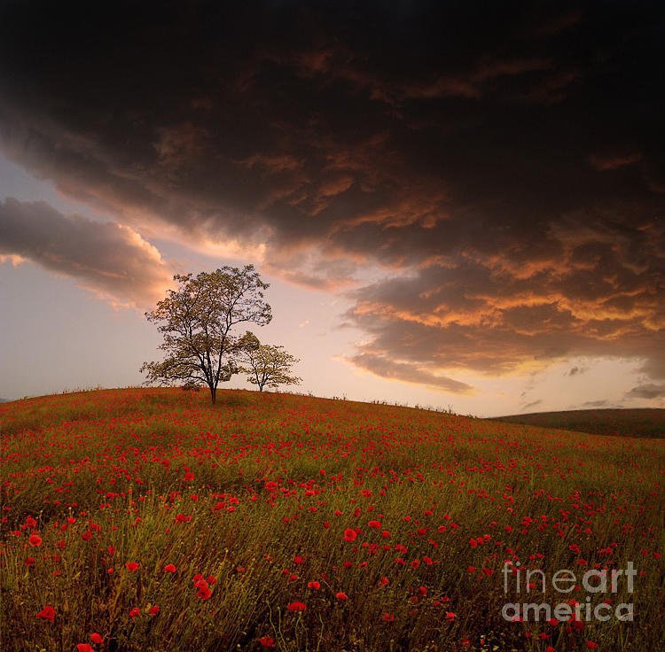 The Sunset Of The Poppies - 2 Photograph