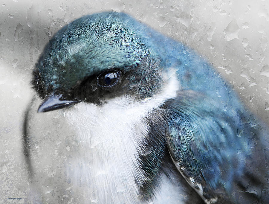 The Swallow Photograph