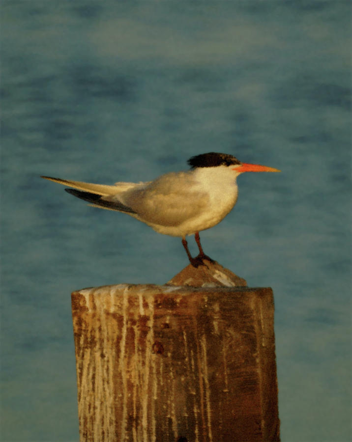 The Tern Photograph  - The Tern Fine Art Print