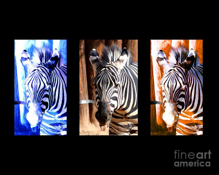 The Three Zebras Black Borders Photograph