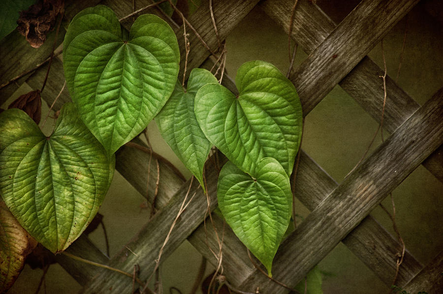 The Trellis Photograph  - The Trellis Fine Art Print