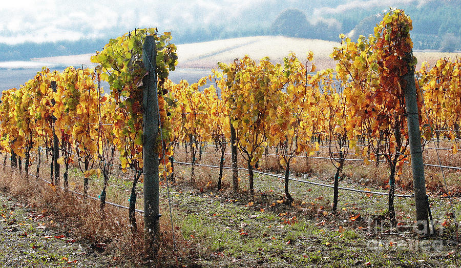The Vineyard Photograph  - The Vineyard Fine Art Print