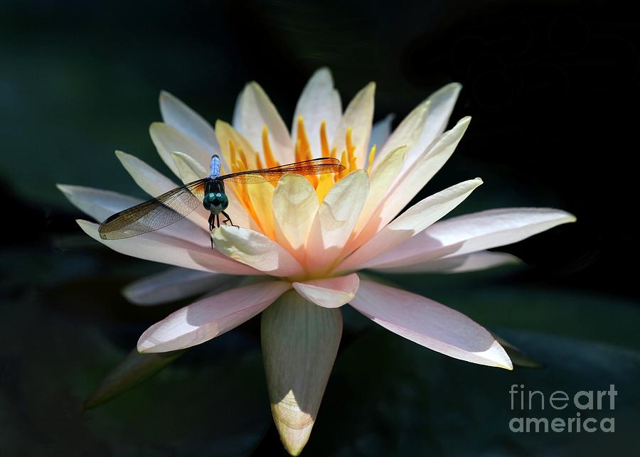 The Water Lily And The Dragonfly Photograph  - The Water Lily And The Dragonfly Fine Art Print