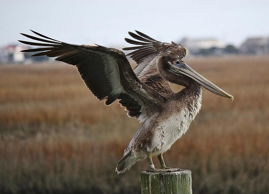 Pelican Photograph - The Wind Beneath My Wings by Paulette Thomas