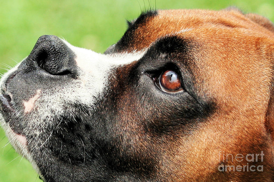 Thinking Of You - Boxer - Vindy Photograph