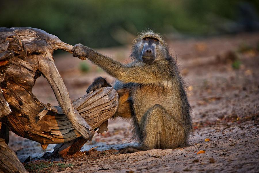 Chobe Photograph - This Is Botswana No.  6 - Watching The Sun Go Down by Paul W Sharpe Aka Wizard of Wonders