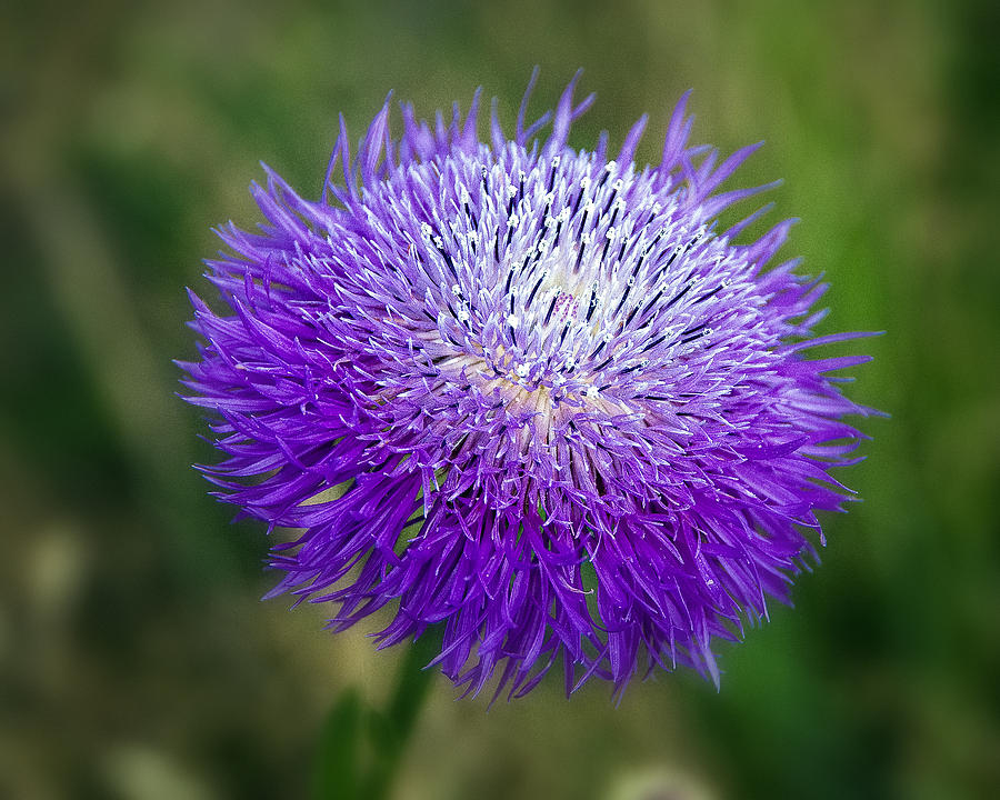Wildflower Photograph - Thistle I by Tamyra Ayles
