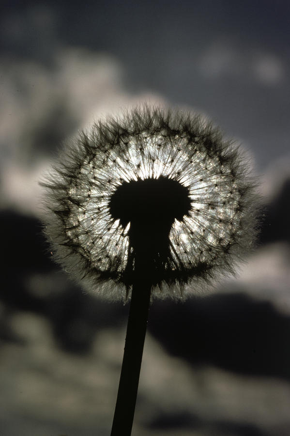 Thoreau Called A Dandelion A Complete Photograph  - Thoreau Called A Dandelion A Complete Fine Art Print