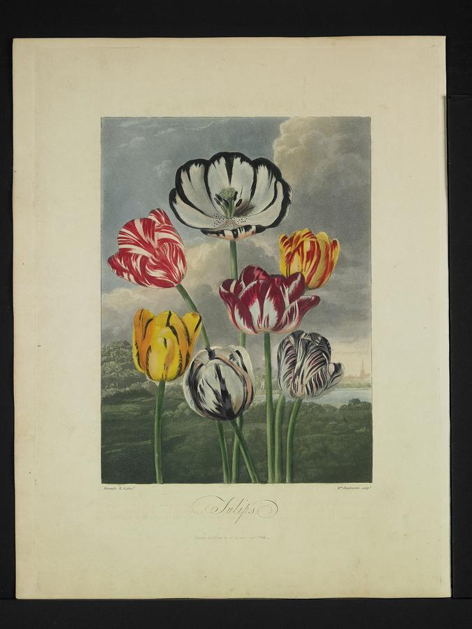 Thornton - Tulips Photograph