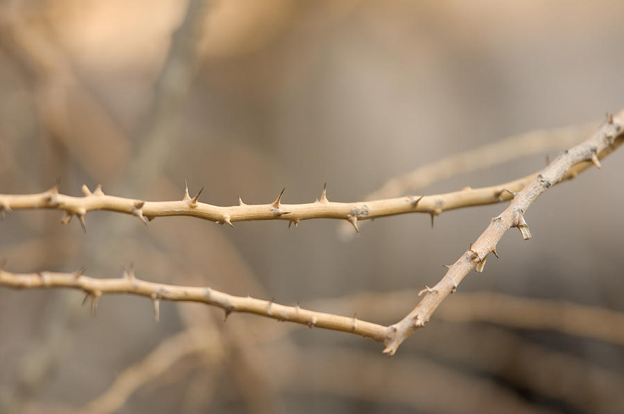 Photography Photograph - Thorny Desert Plant Inside The Desert by Joel Sartore