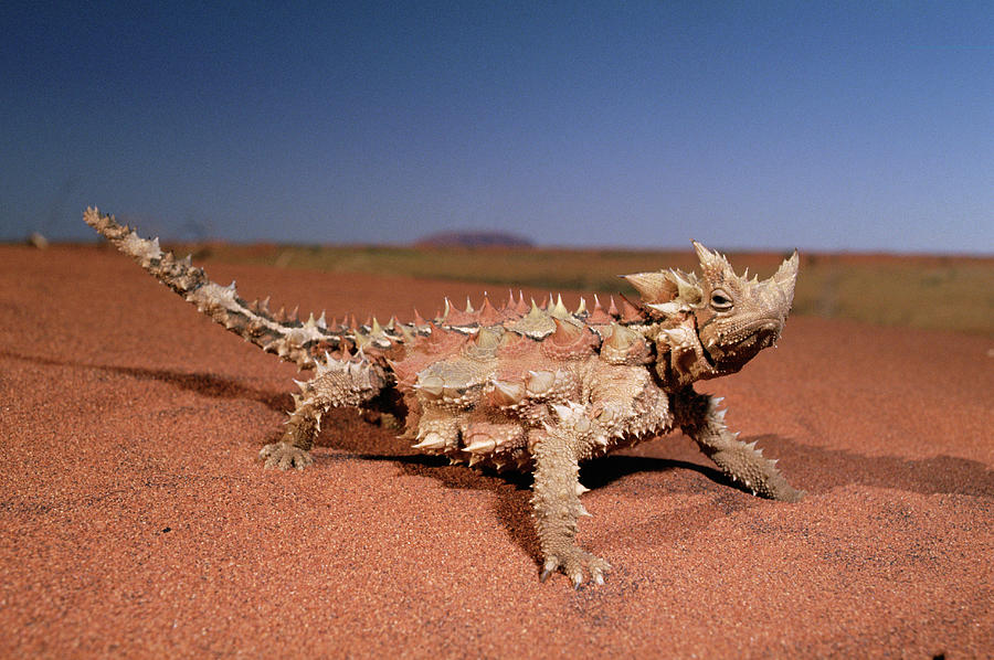 Thorny Devil Moloch Horridus Photograph  - Thorny Devil Moloch Horridus Fine Art Print