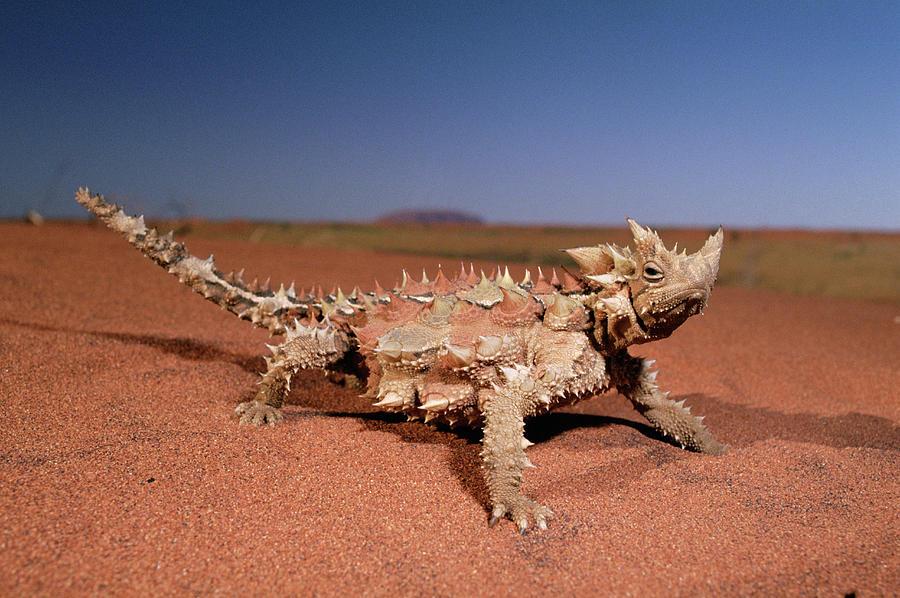 Thorny Devil Moloch Horridus Photograph