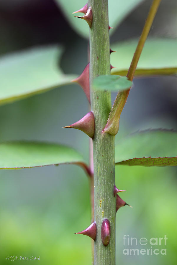Thorny Stem Photograph by Todd A Blanchard