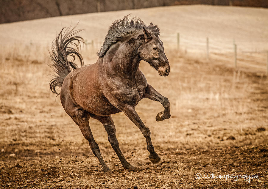 Thoroughbred Jack Hdr Photograph  - Thoroughbred Jack Hdr Fine Art Print