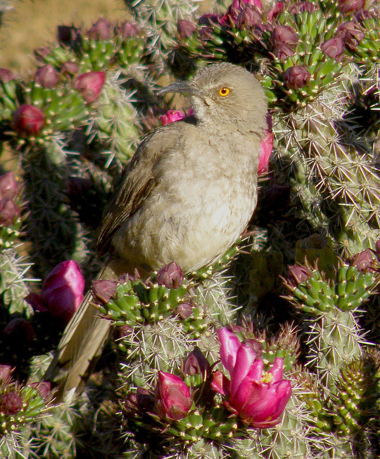 Thrasher In Cholla Photograph