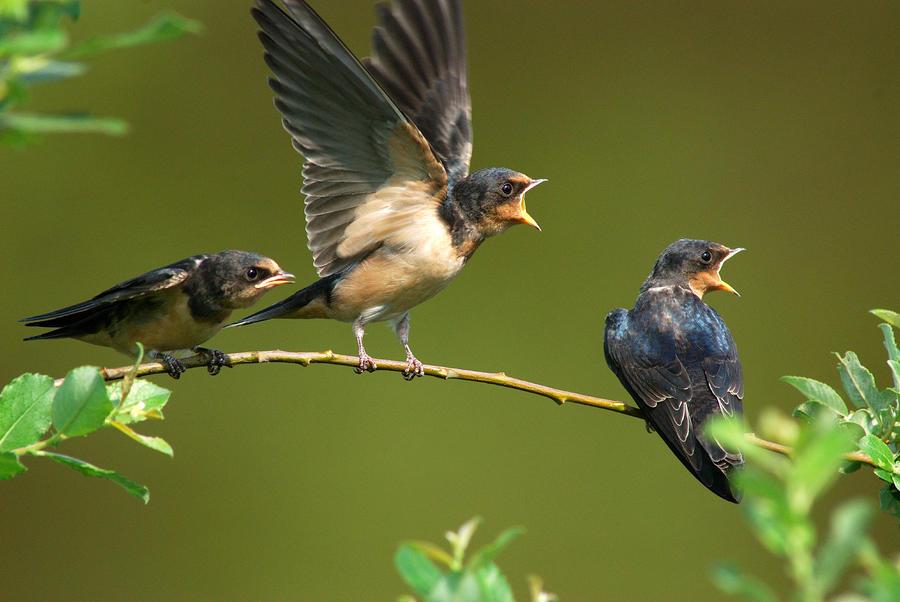 Arlington Photograph - Three Barn Swallow Fledglings Begging by Darlyne A. Murawski