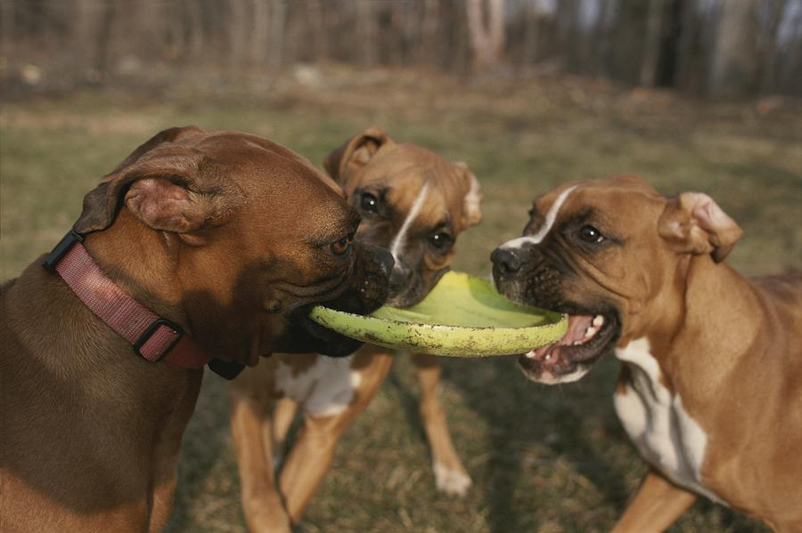 Three Boxer Dogs Play Tug-of-war Photograph