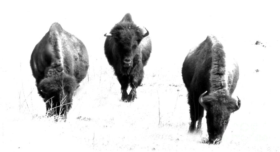 Three Buffalo Bw Photograph  - Three Buffalo Bw Fine Art Print