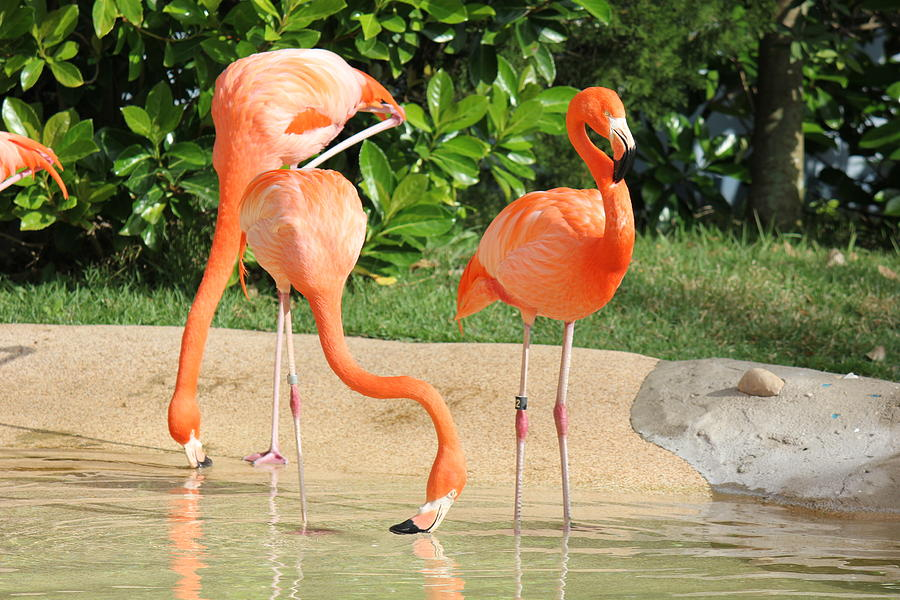 Three Flamingos Photograph