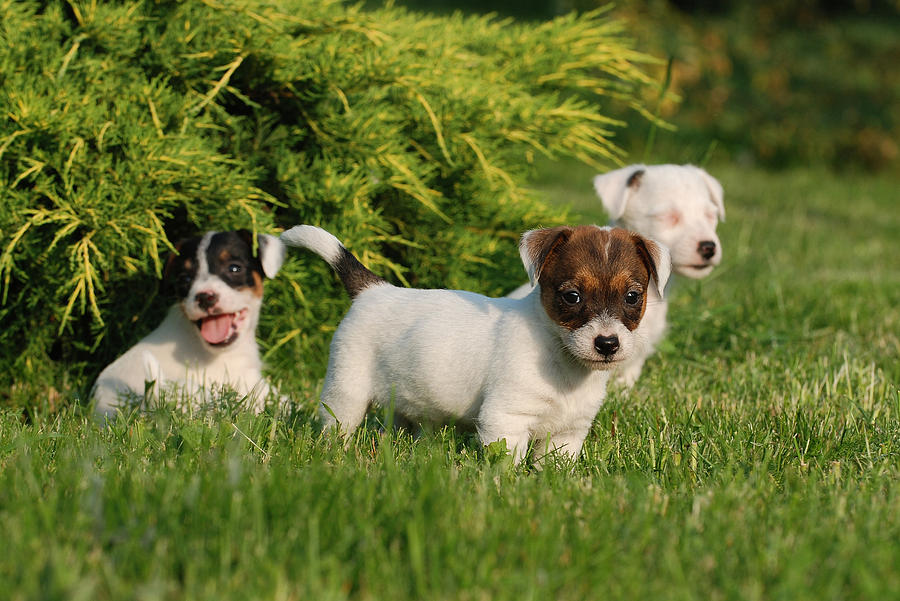 Three Jack Russell Terrier Puppies Photograph
